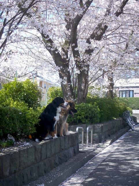 0418_mayrosy_sakura.jpg