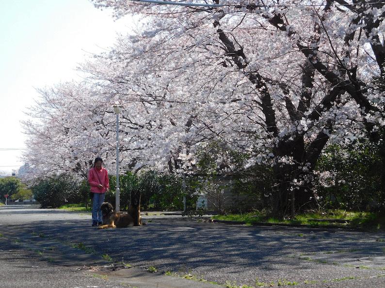 DSCN6013_のぶたまはち桜_FB.jpg