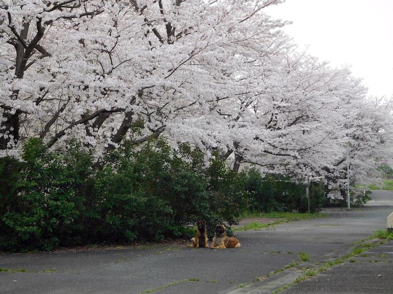 DSCN6020_やまんぽ団地花見桜きれい_FB.jpg