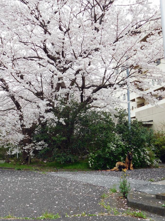 DSCN6040_雪柳桜やまんぽ団地_FB.jpg