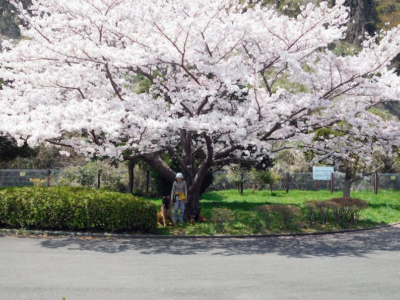 DSCN6080_のぶたまはち桜_FB.jpg