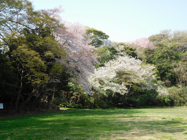 DSCN6100_やまんぽグランド桜_FB.jpg