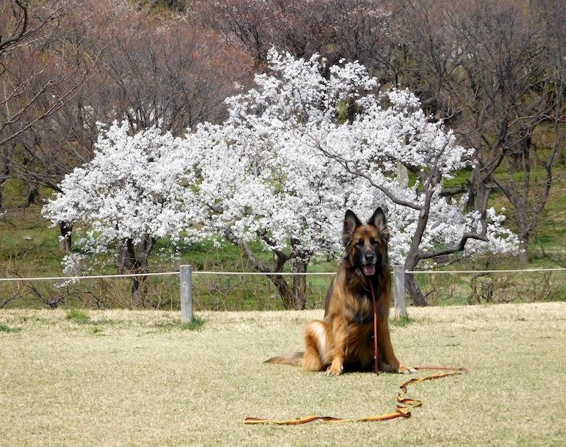 DSCN8773_玉桜1本_FB.jpg