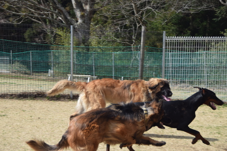 DSC_1351_走るドイツ犬同盟_FB.jpg