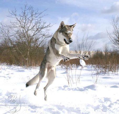 snowdog_5.jpg
