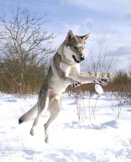 snowdogs_4.jpg