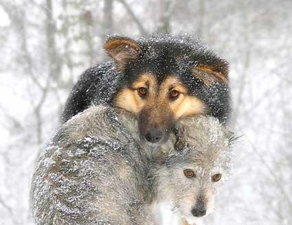 snowdogs_6.jpg