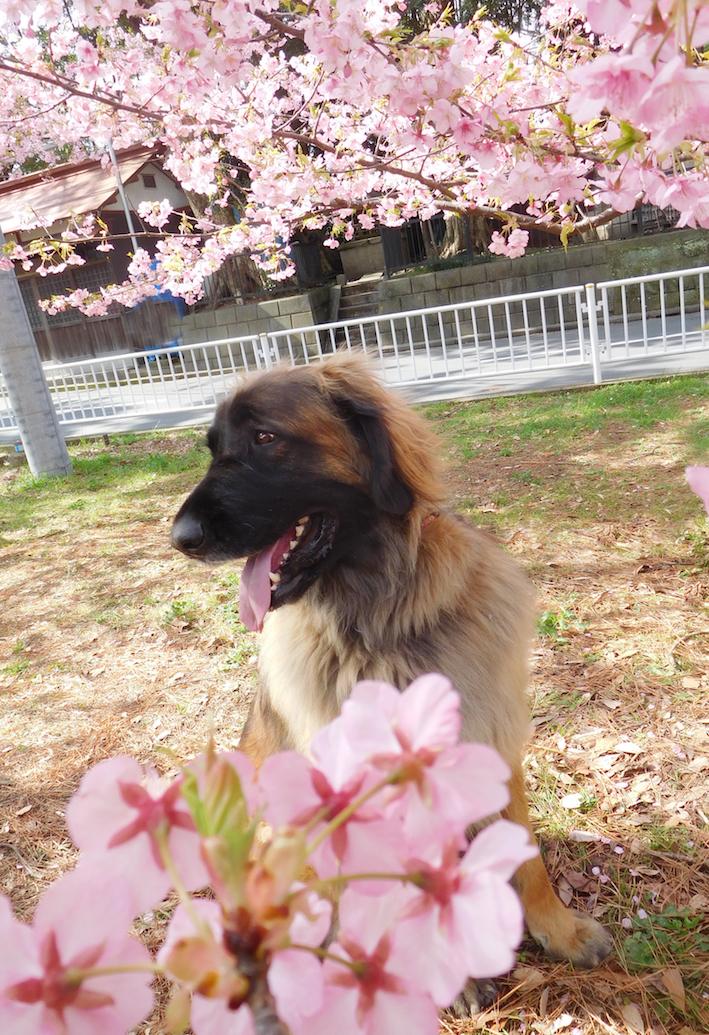 DSCN0831_ハチ桜_FB.jpg
