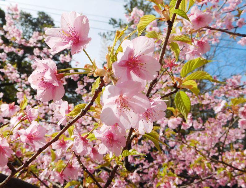 DSCN0835_早咲山桜_FB.jpg