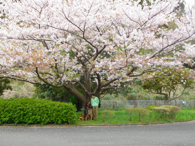DSCN1024_のぶ玉八桜いい感じ_FB.jpg
