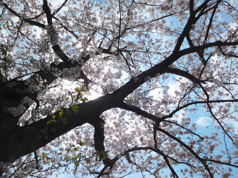 DSCN1031_桜_FB.jpg