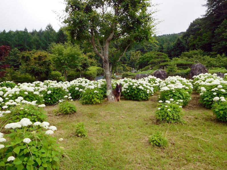 DSCN1663_アナベル玉遠景_FB.jpg