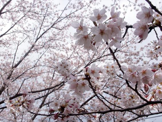 桜PICT4007_BLOG.jpg