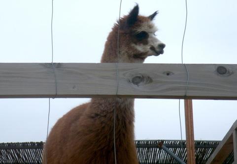 alpaca_2.jpg